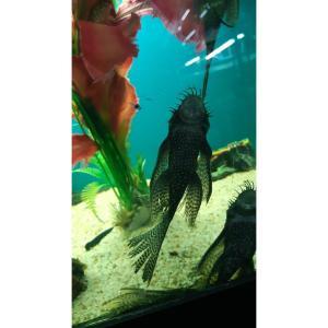 Bristlenose Longfin at Rebel Pets