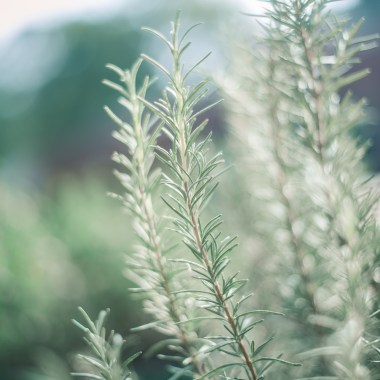 7 Plants that Help Repel Mosquitoes Naturally
