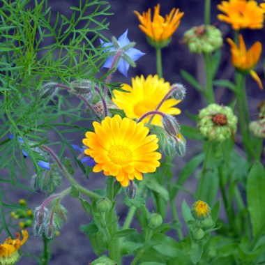 10 Flowers to Plant in your Vegetable Garden