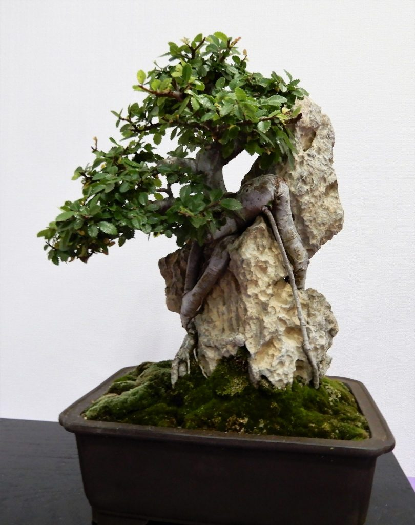 34th Rebs Annual Show Photos 2 Website Wiring Chinese Elm Bonsai Root Over Rock