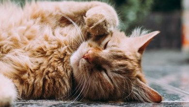 Photo of 5 Easy Tips To Follow While Grooming Your Cat