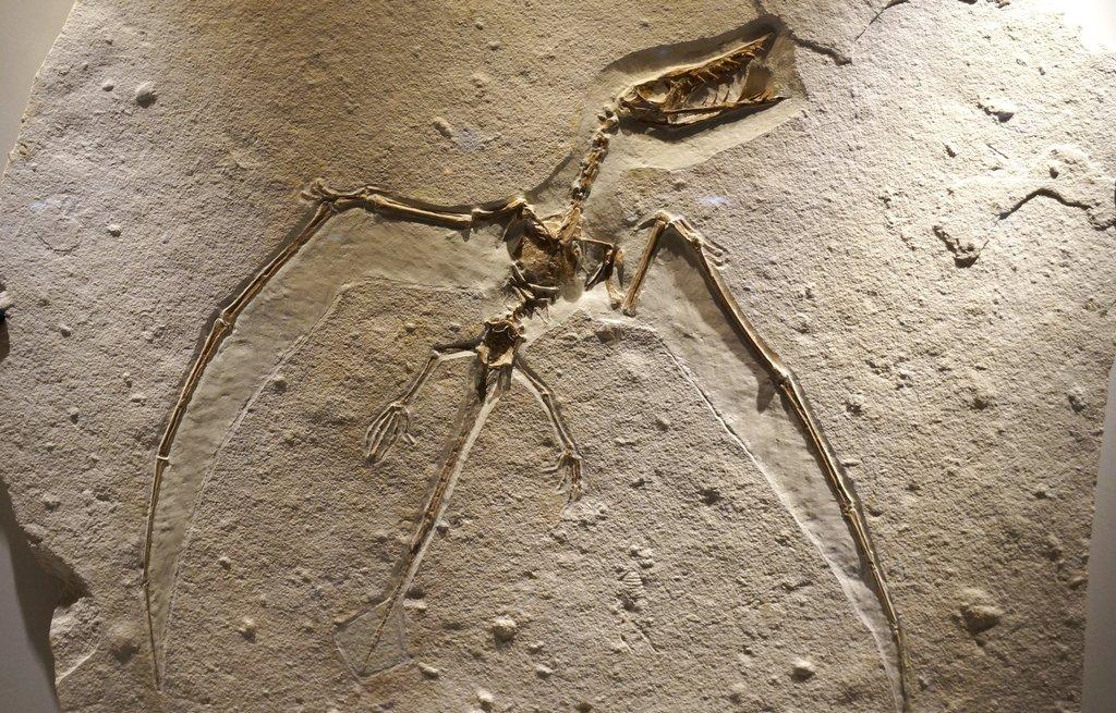 Image result for pterosaur fossil