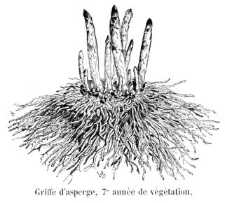 griffe d asperge