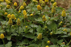 290px-Spilanthes_oleracea-plant