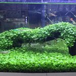 lot 1000 Graines GROS TREFLE d'aquarium Graine de plantes Water vert gazon pour Aquarium Decor poisson aquatique herbe pelouse semence