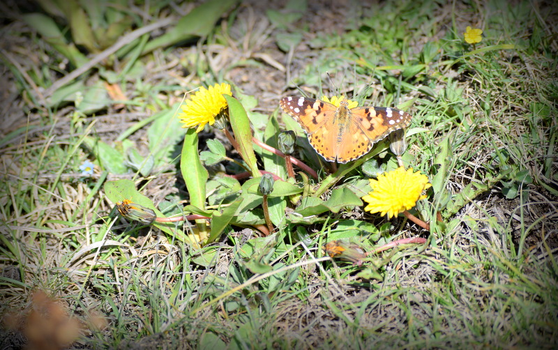 One of the many butterflies flitting across the meadow