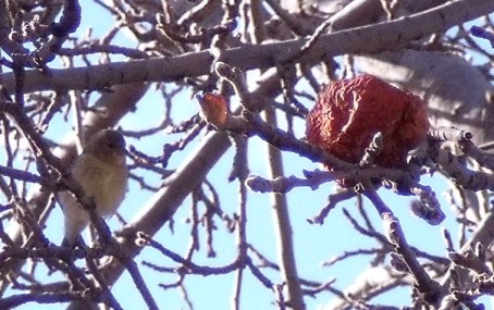 goldfinch2