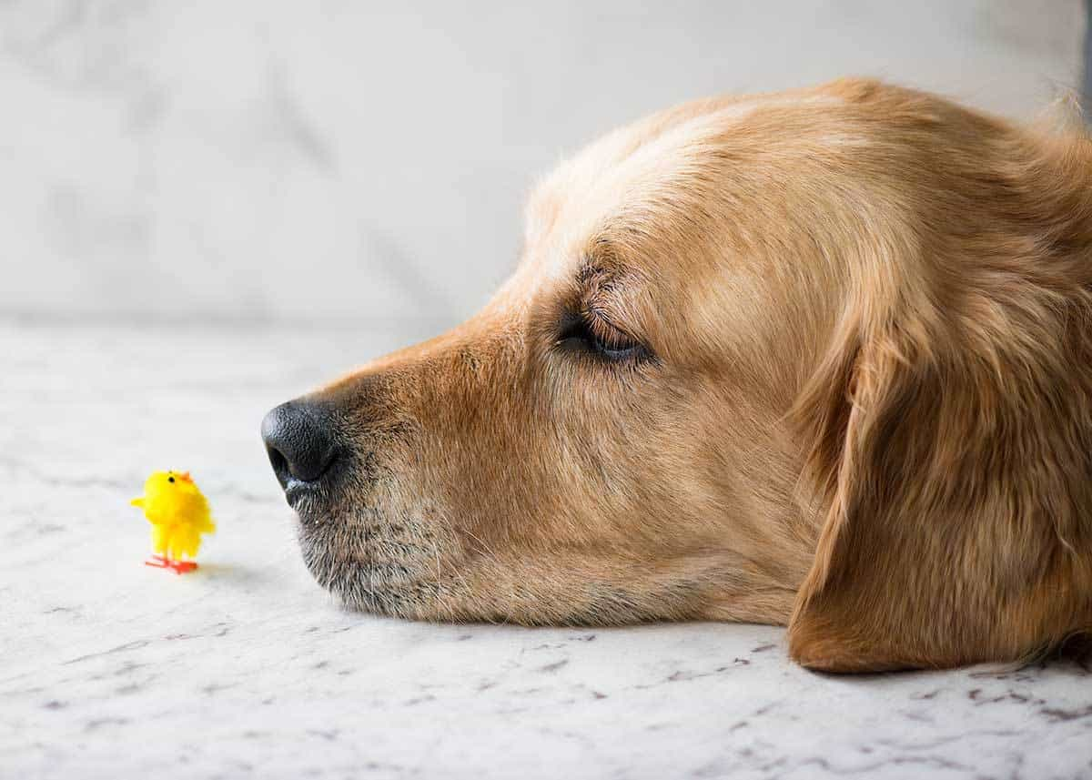 Cute Golden Retriever with head on white table with tiny toy fluffy yellow chick right in front of his nose.