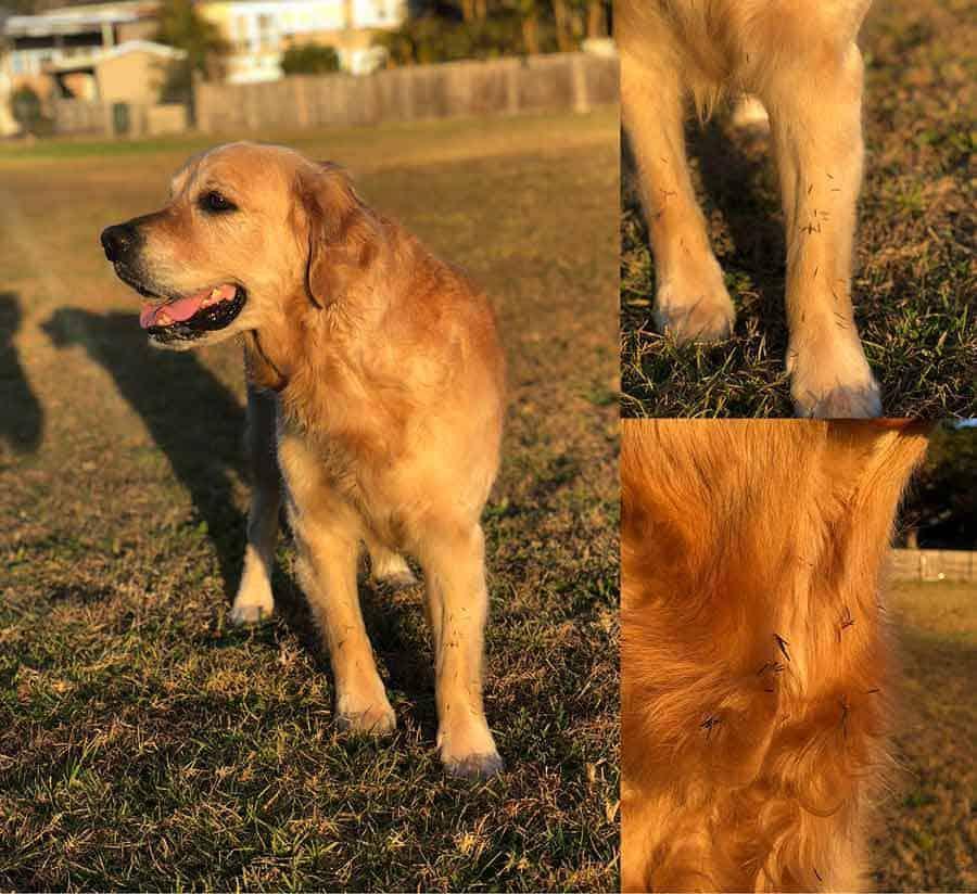 Dozer the golden retriever dog covered in burs