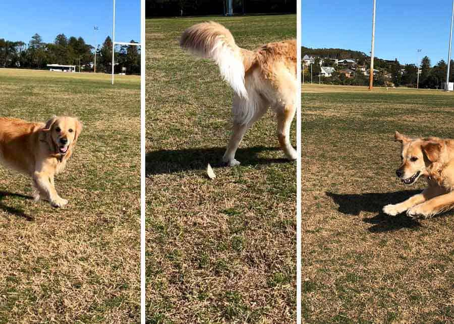 Missing the shot - Dozer the golden retriever dog