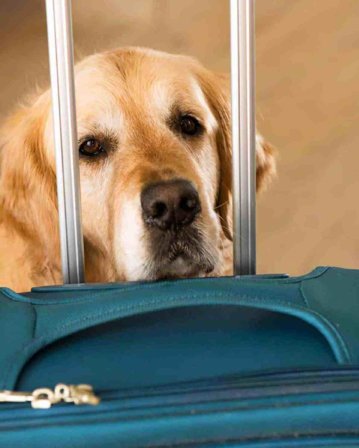 Dozer the golden retriever dog concerned at the sight of a suitcase
