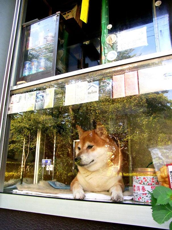 7 Photos Of Japanese Dog Who Runs Small Cigarette Shop