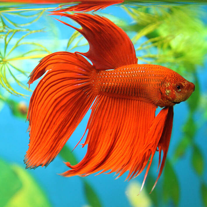 Cool Facts About Betta Fish