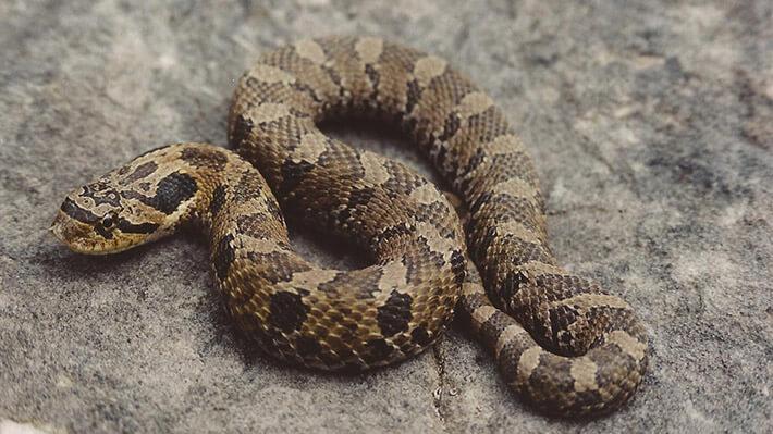 Hognose-Snake