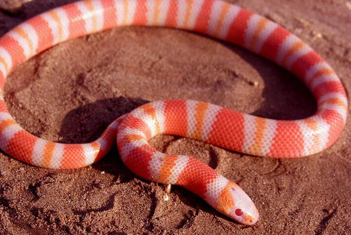 Milk-Snake