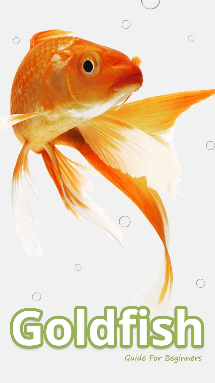 Goldfish Guide For Beginners