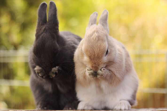 Rabbit- Recommended Tips