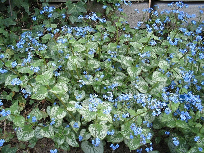 False-Forget-Me-Not