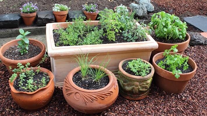 How to Grow Culinary Herbs