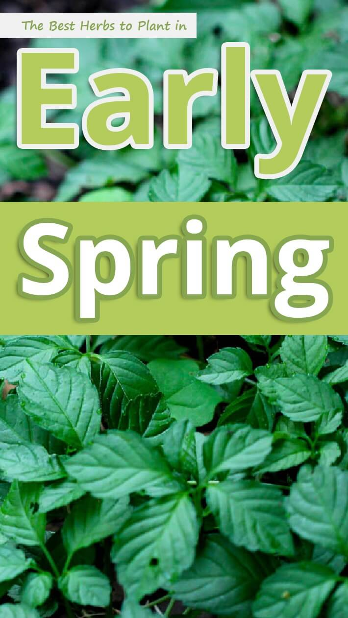 The Best Herbs to Plant in Early Spring
