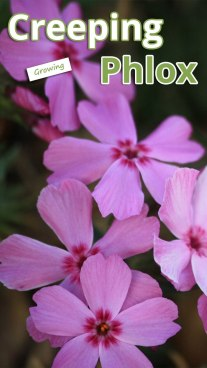 Growing Creeping Phlox
