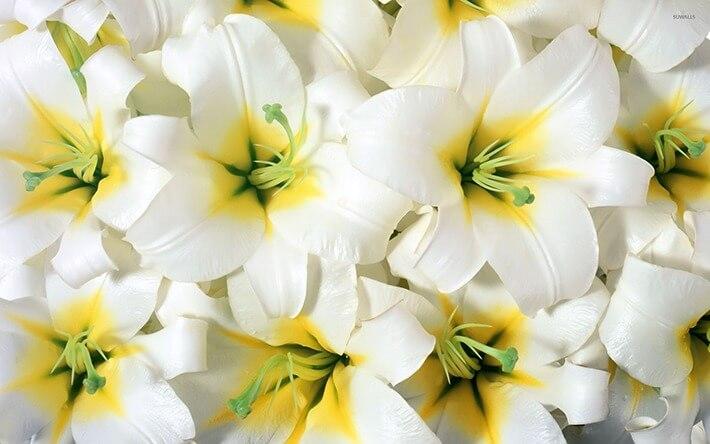 Growing Lilies