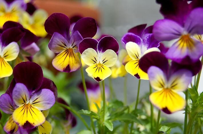 Growing Violas