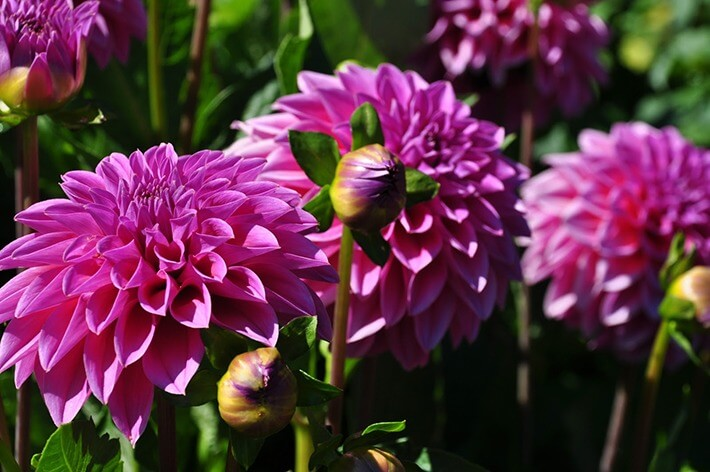 Growing and Caring for Dahlias