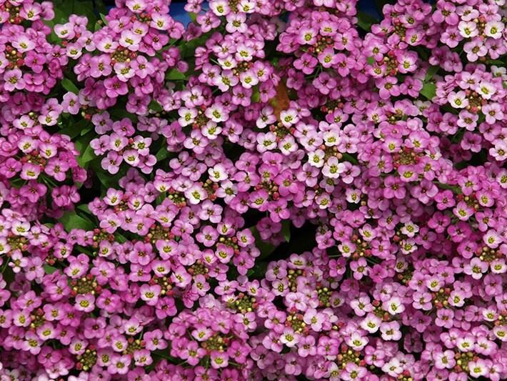 How to Grow & Care for Alyssum