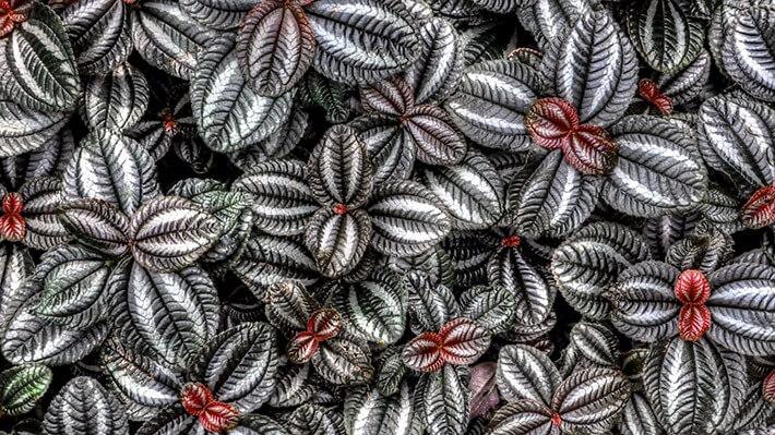 How to Grow Coleus Plants