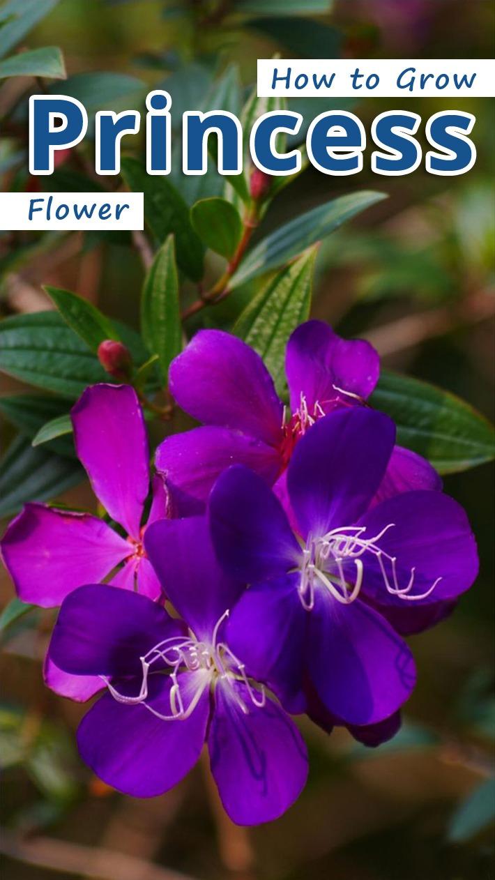 How to Grow Princess Flower