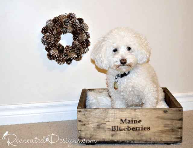 dog sitting in a Maine Blueberry box