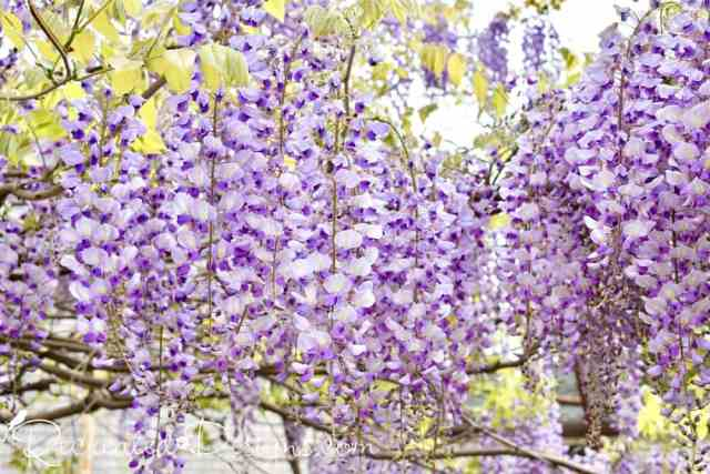 wisteria blooms in May
