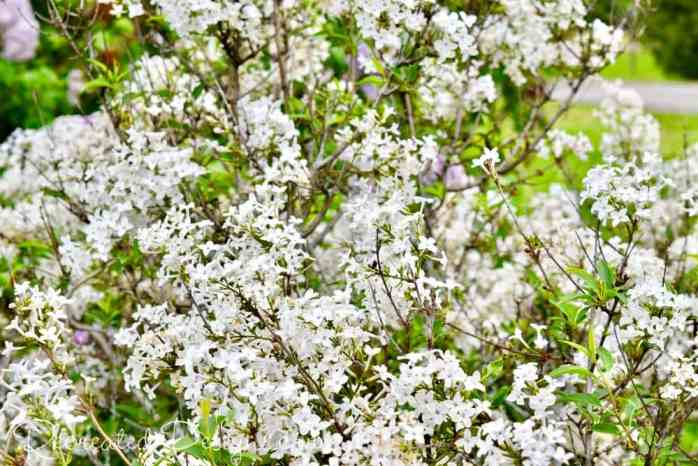 white lilac blooms
