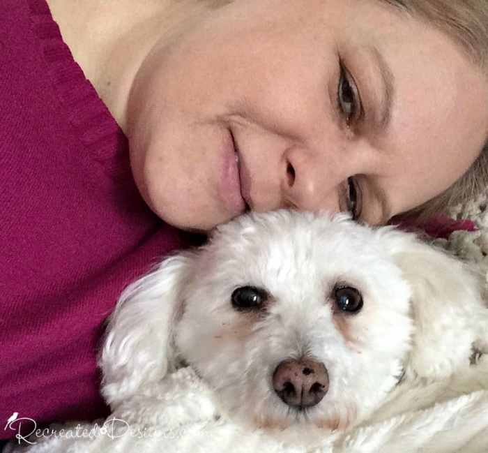 Bichon cuddled up with owner