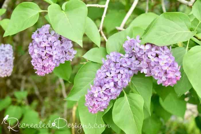 beautiful purple lilac blooms