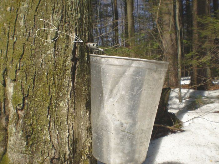 maple syrup bucket and spile