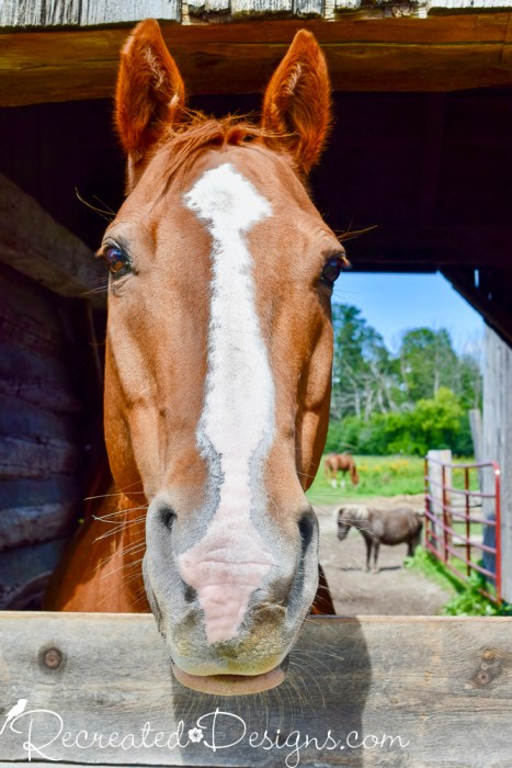 horse looking over his stall wall