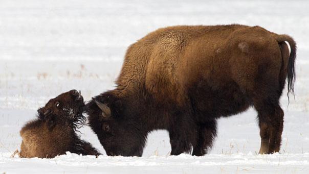 Bisonte en la nieve