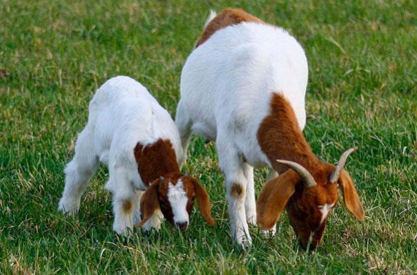 cabras comiendo