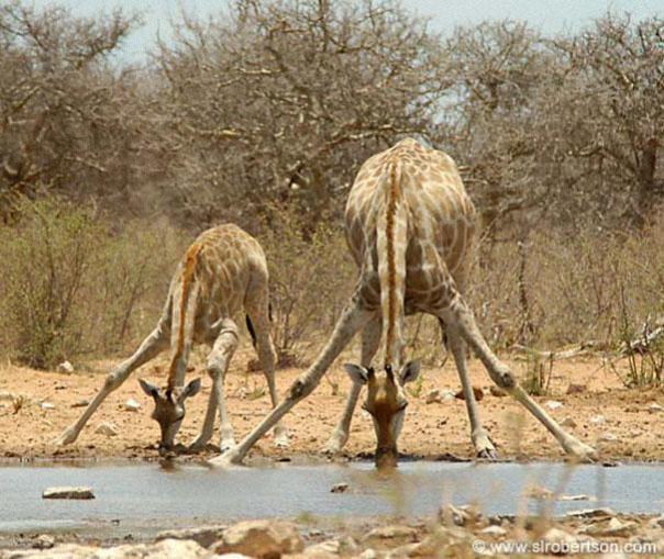 jirafas tomando agua