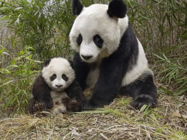 panda y su bebe cachorro