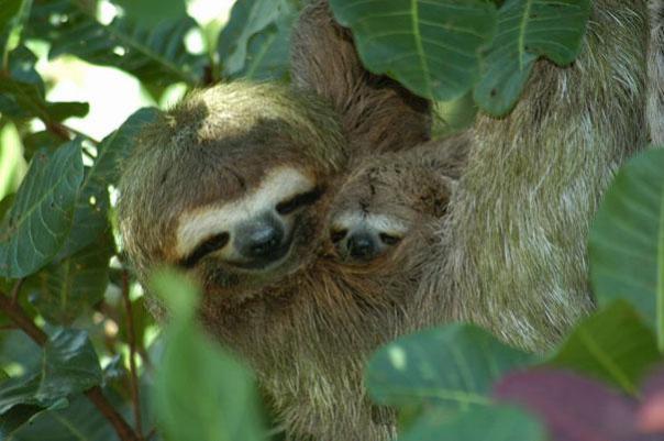 perezosos en el arbol durmiendo