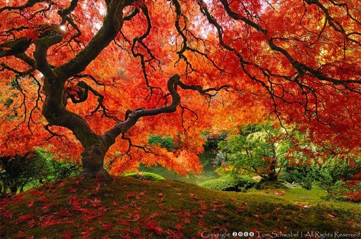 Hermoso Arce Japonés, en Portland Oregon