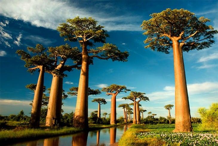 fantásticos Baobabs