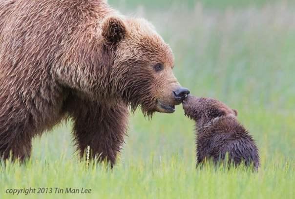 oso pardo con el osezno