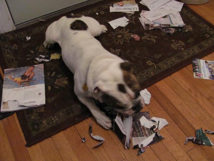 Perro en el piso destrozando revistas en el suelo