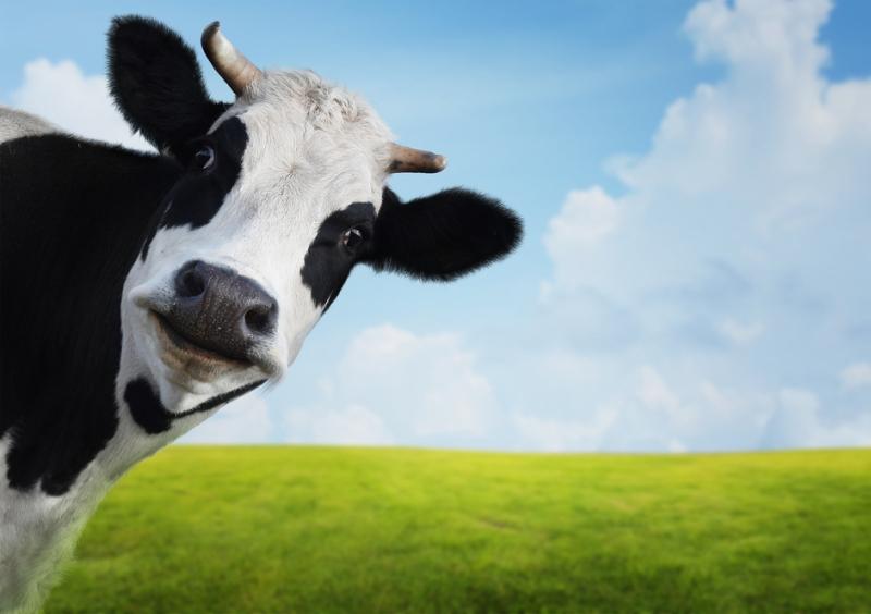 Resultado de imagen para vacas