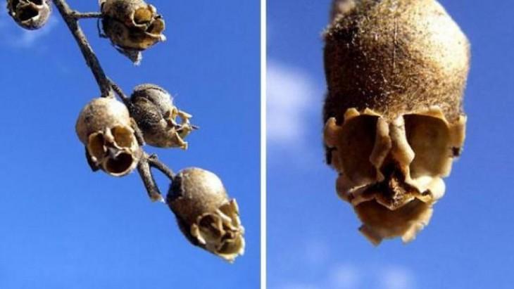 Semillas en forma de calavera
