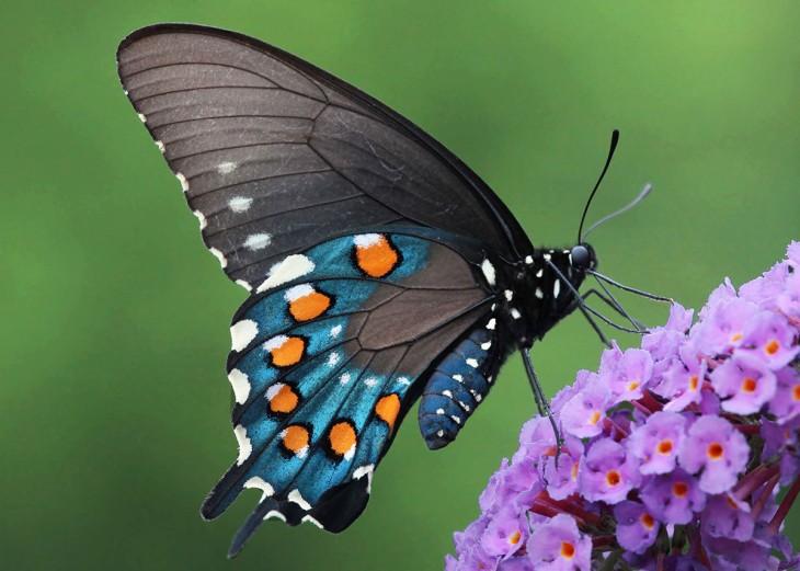 Mariposa Pipevine Swallowtail sobre un ramito de flores violetas